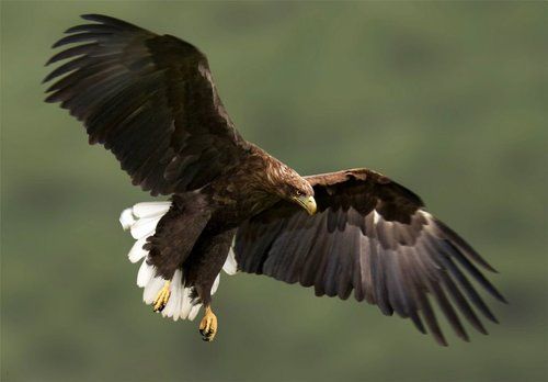 Flying high: White-tailed eagles